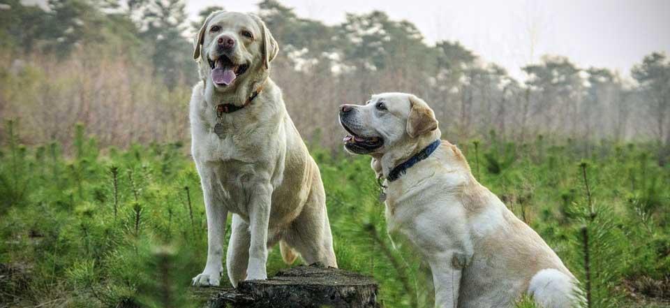 Popis-plemene-labradorského-retrívra