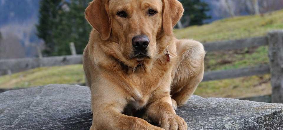 Jak-získat-štěně-labradorského-retrívra