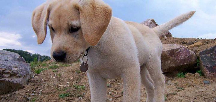 Koupě-štěňat-labradorského-retrívra