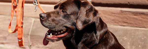 Labrador je idealni plemeno pro zacatecniky i pokrocile chovatele 2 - Labrador je ideální plemeno pro začátečníky i pokročilé chovatele